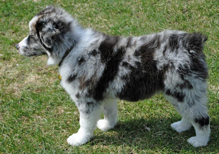 Mason the Australian Shepherd Pictures 775043