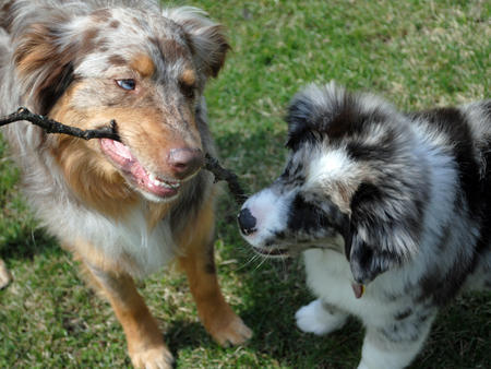 Mason the Australian Shepherd Pictures 775044