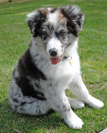 Mason the Australian Shepherd Pictures 795741