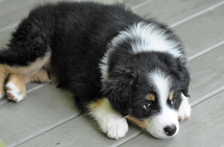 Mason the Australian Shepherd Pictures 795733