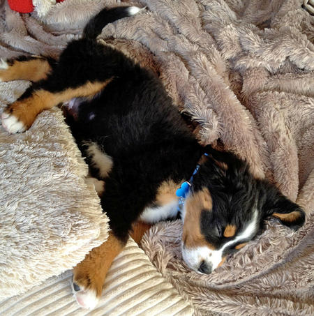 Mason the Bernese Mountain Dog Pictures 1033357