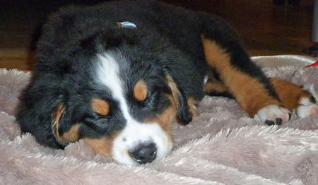 Mason the Bernese Mountain Dog Pictures 1033358