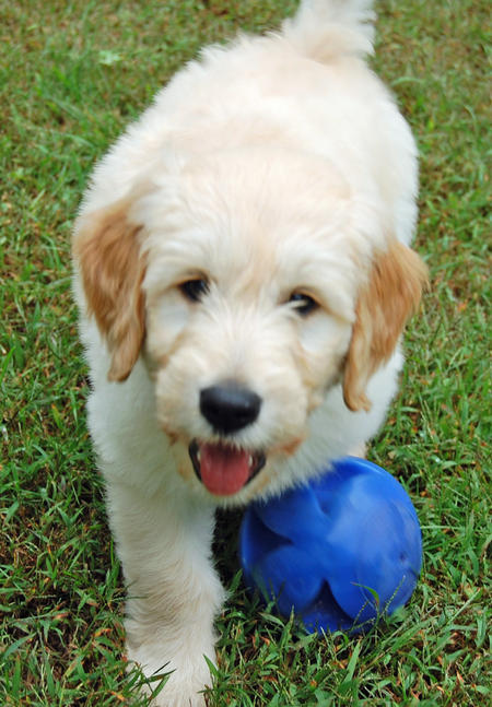 Mason the Goldendoodle Pictures 830723