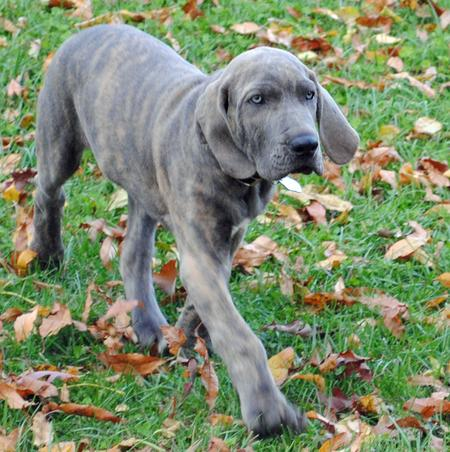 Mateus the Mastiff Pictures 879764