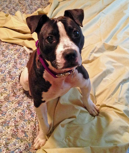 Matilda the American Staffordshire Terrier  Pictures 1047373