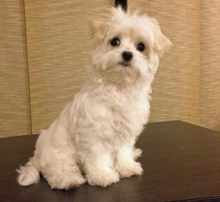 Mattie the Maltese Pictures 1010701