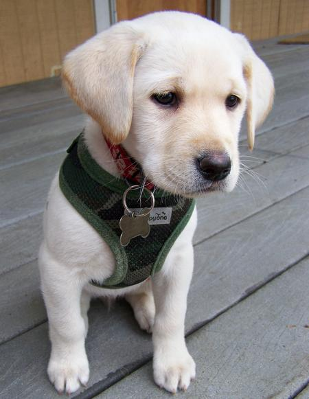 Maui the Labrador Retriever Pictures 575134