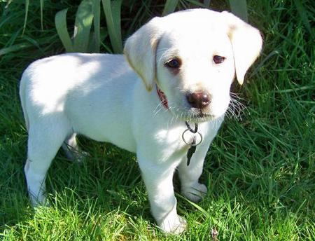 Maui the Labrador Retriever Pictures 575137