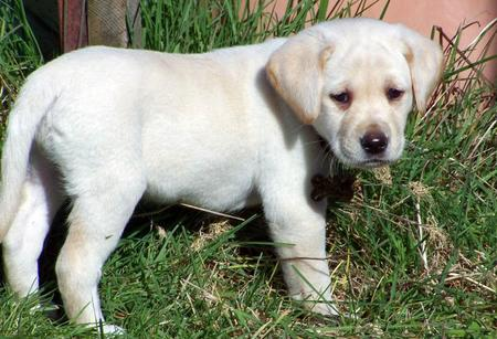 Maui the Labrador Retriever Pictures 575139