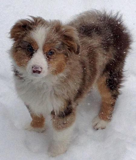 Maverick the Australian Shepherd Pictures 985466