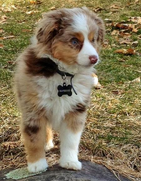 Maverick the Australian Shepherd Pictures 985467