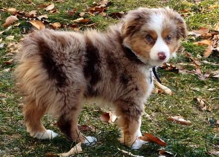 Maverick the Australian Shepherd Pictures 787930