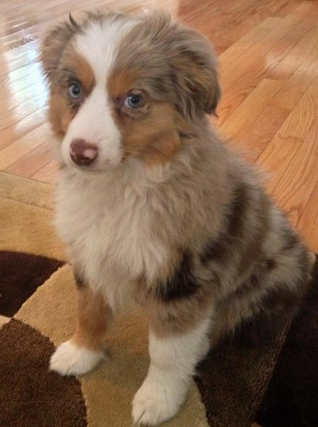Maverick the Australian Shepherd Pictures 787931