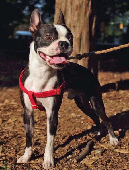 Maverick the Boston Terrier Pictures 1057355