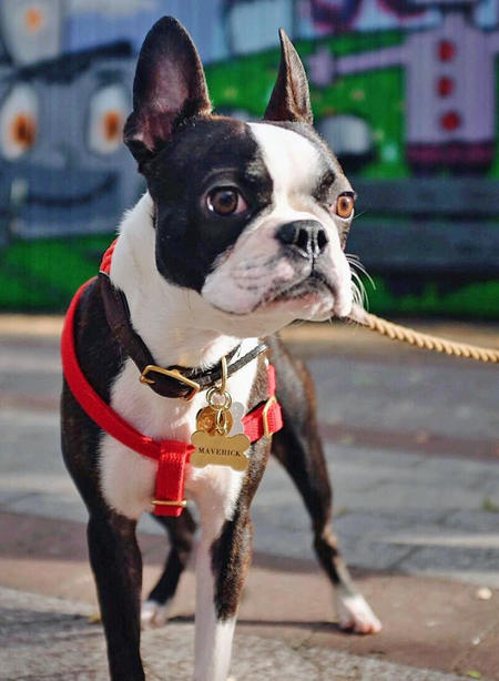 Maverick the Boston Terrier Pictures 1057357