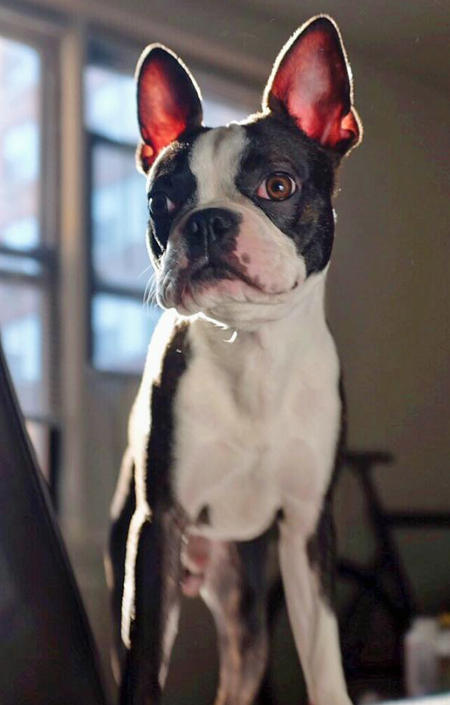Maverick the Boston Terrier Pictures 1057358