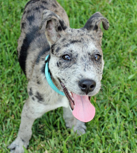 Maverick the Catahoula Leopard Dog Pictures 1045529
