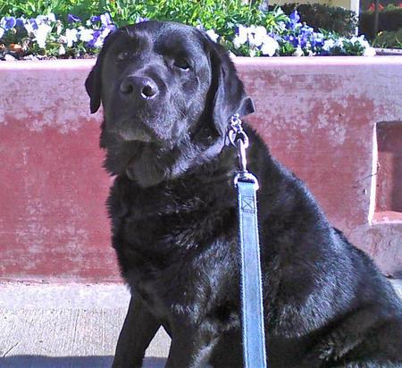 Maverick the Labrador Retriever Pictures 1050195
