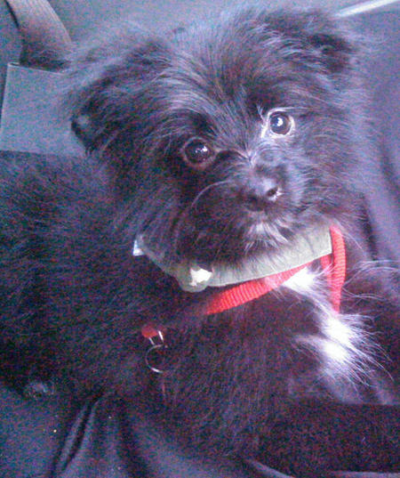 Maverick the Pomeranian Mix Pictures 1051273
