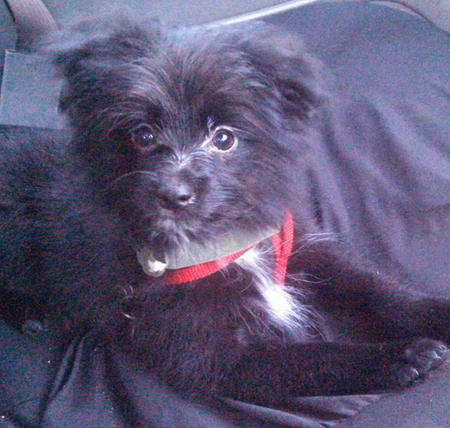 Maverick the Pomeranian Mix Pictures 1051274