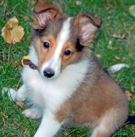 Shetland Sheepdog Puppies on Maverick The Shetland Sheepdog   Puppies   Daily Puppy