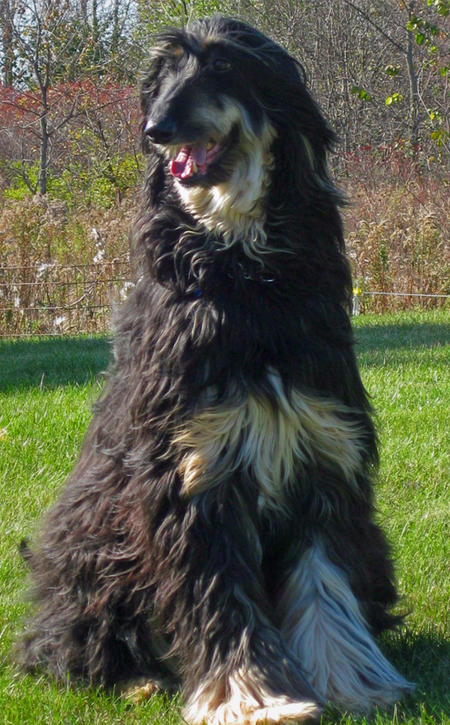Max the Afghan Hound  Pictures 455599