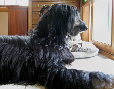 Max the Afghan Hound  Pictures 455596
