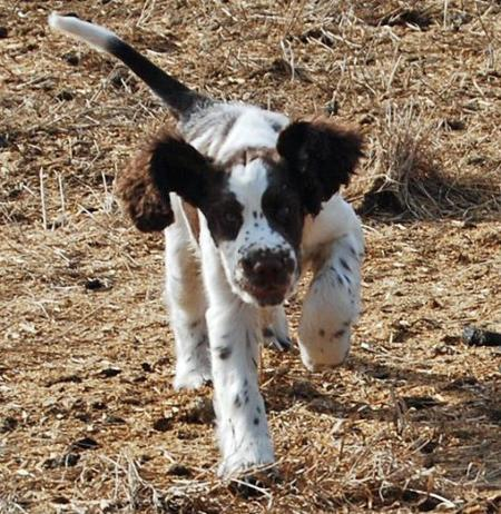 Max the English Springer Spaniel Pictures 774296
