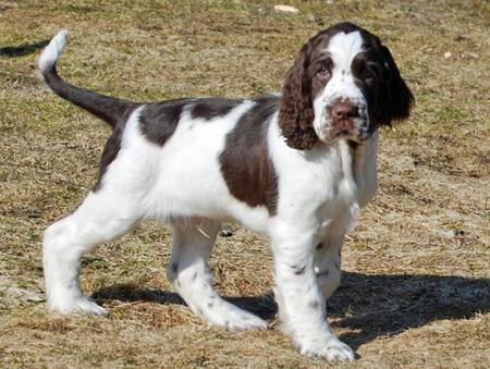 Max the English Springer Spaniel Pictures 774298