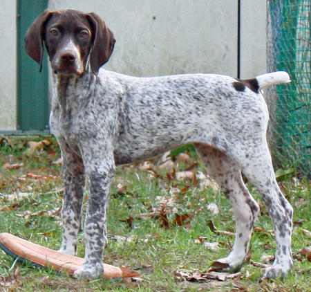 Max the German Shorthaired Pointer Pictures 848219
