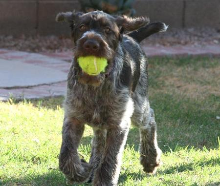 Max the German Wirehaired Pointer Pictures 704331