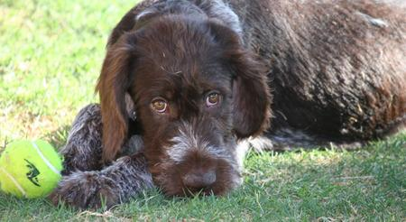 Max the German Wirehaired Pointer Pictures 704330