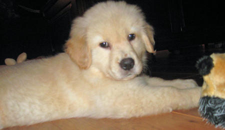 Max the Golden Retriever Pictures 1033068