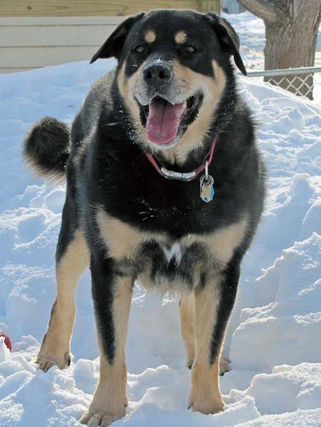 Rottweiler Husky Mix http://www.dailypuppy.com/dogs/max-the-rottweiler-mix_2010-07-18