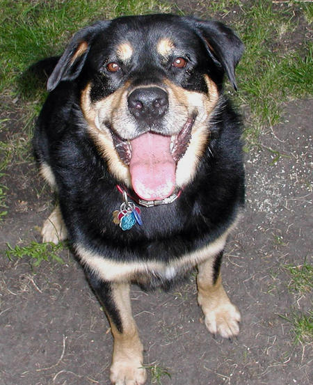 Max the Rottweiler Mix Pictures 623501