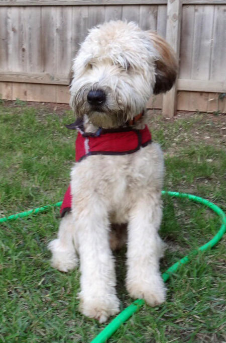 Max the Wheaten Terrier  Pictures 999514