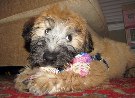 Max the Wheaten Terrier  Pictures 999515
