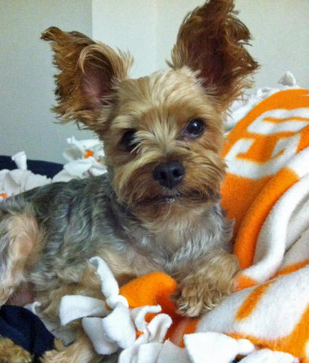 Max the Yorkshire Terrier Pictures 1049854