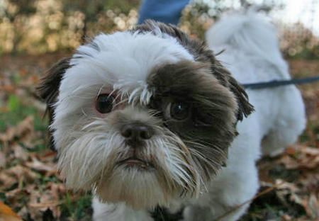 Maxie the Shih Tzu Pictures 1033023