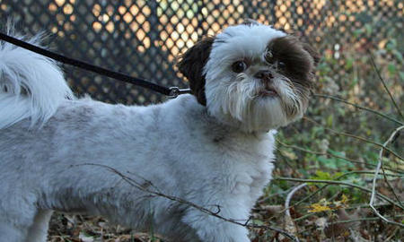 Maxie the Shih Tzu Pictures 1033025