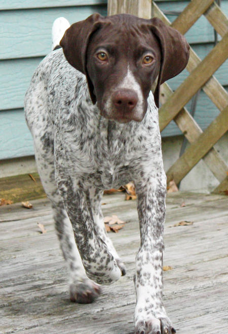 Max the German Shorthaired Pointer Pictures 848218