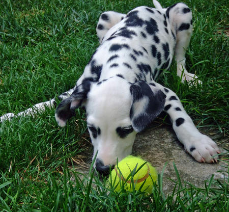 Maxwell the Dalmatian Pictures 686919