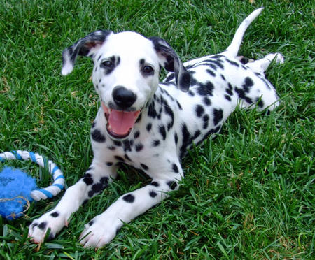 Maxwell the Dalmatian Pictures 686923