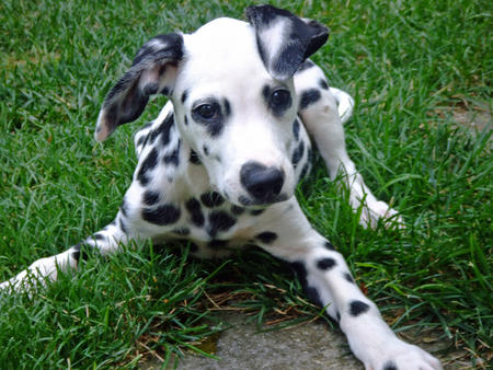 Maxwell the Dalmatian Pictures 686926