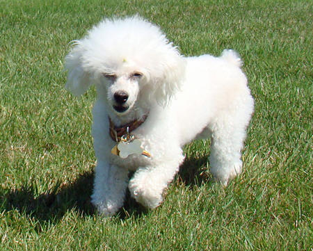 Maya the Poodle Pictures 1058970