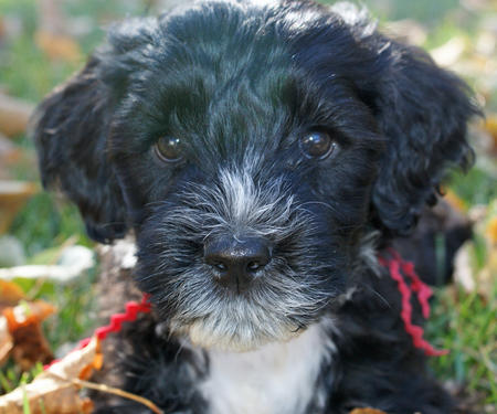 McKinley the Portuguese Water Dog Pictures 679516