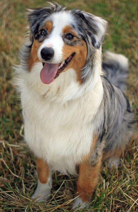 Meeko the Australian Shepherd Pictures 536609