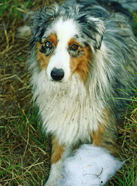 Meeko the Australian Shepherd Pictures 536611