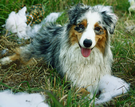 Meeko the Australian Shepherd Pictures 536612