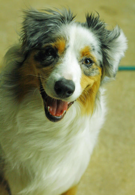 Meeko the Australian Shepherd Pictures 536616
